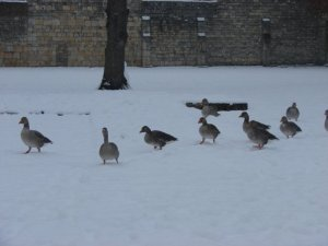 Confused geese in York Museum Gardens!